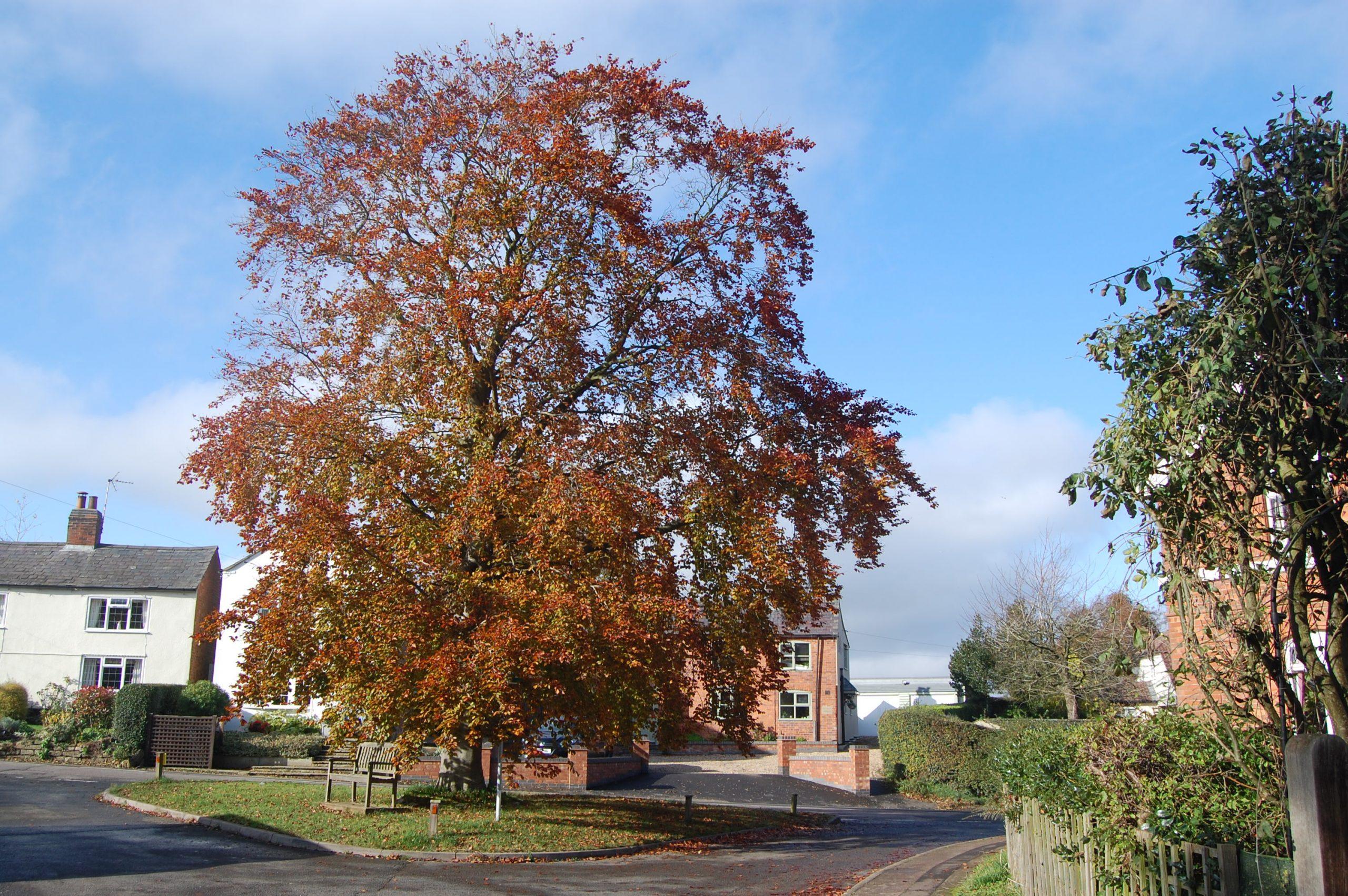 Beech Tree Near Church