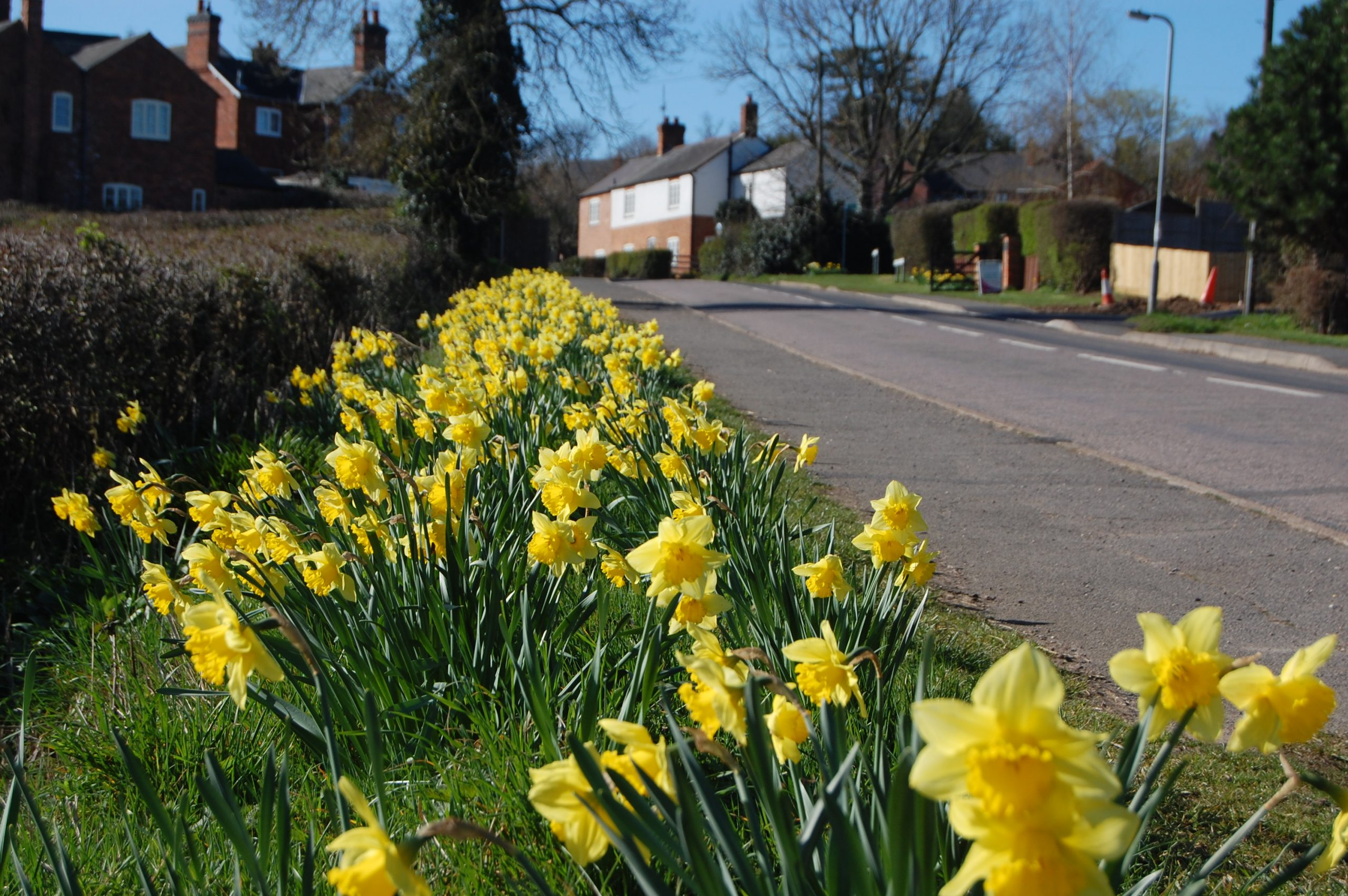 Daffodils by Harborough Road